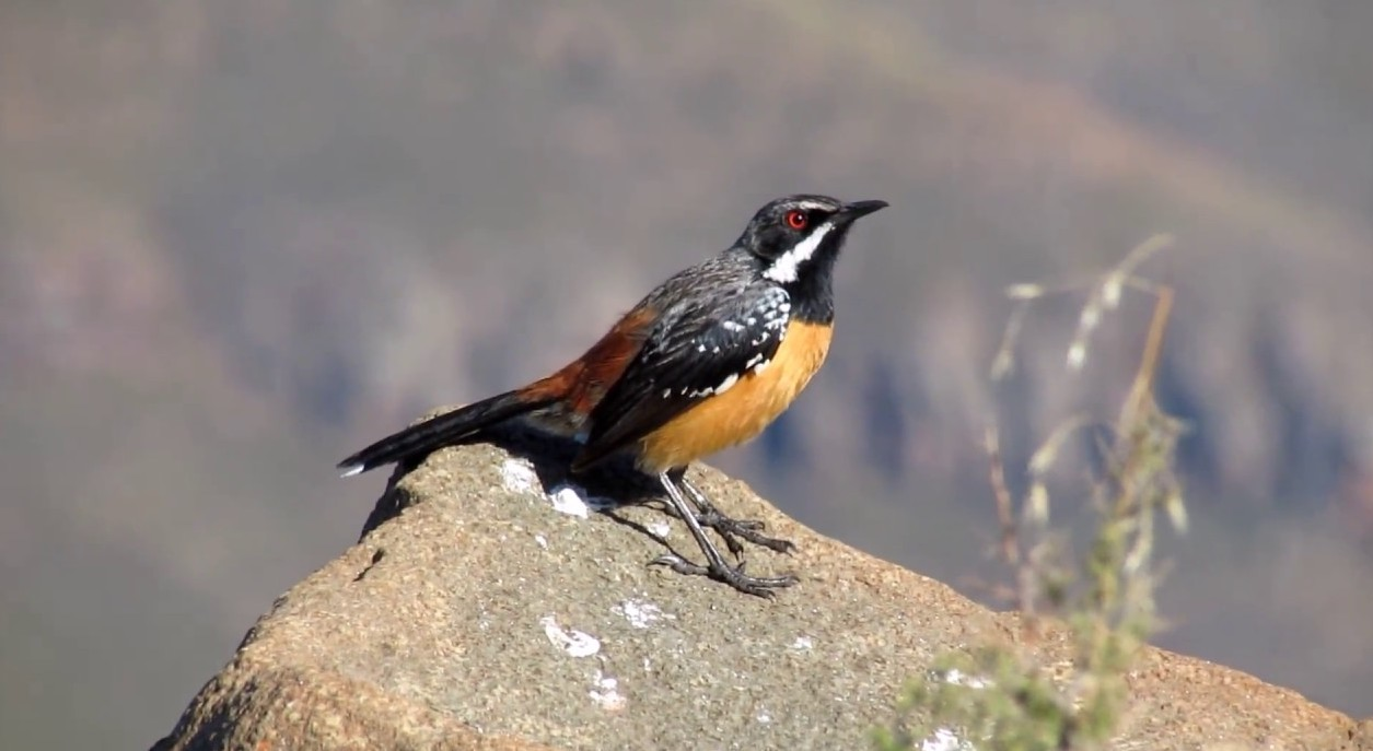 Sani Pass Birding Tour from Underberg